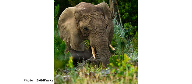 The Knysna Forest and its Elephants www.knysna-information.co.za